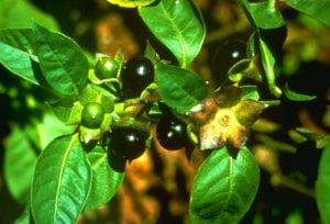 Deadly Nightshade,Deadly Nightshade plant,plant Deadly Nightshade