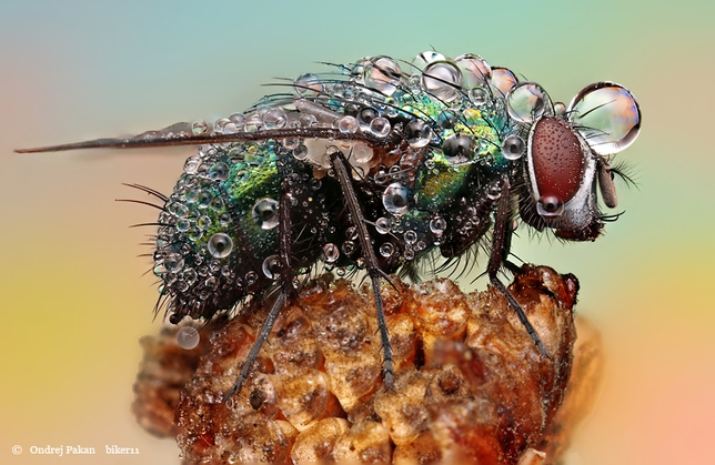 Fly covered with dew,insects covered in dew,insects dew,macro insects photography