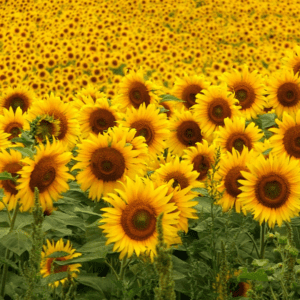 sunflower, Sunflowers