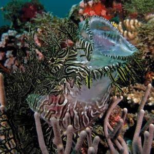 Scorpionfish, merlet Scorpionfish