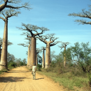 baobabs tree, The Alley of the Baobabs, Alley of the Baobabs
