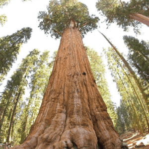 General Sherman, General Sherman tree
