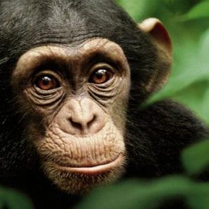 monkey, monkey hiv, monkey aids