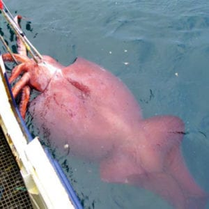 Colossal Squid, squid