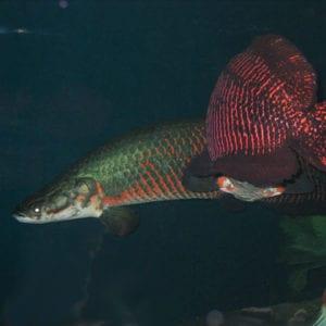 Piranha, Proof Fish Armor, Piranha-Proof Fish Armor