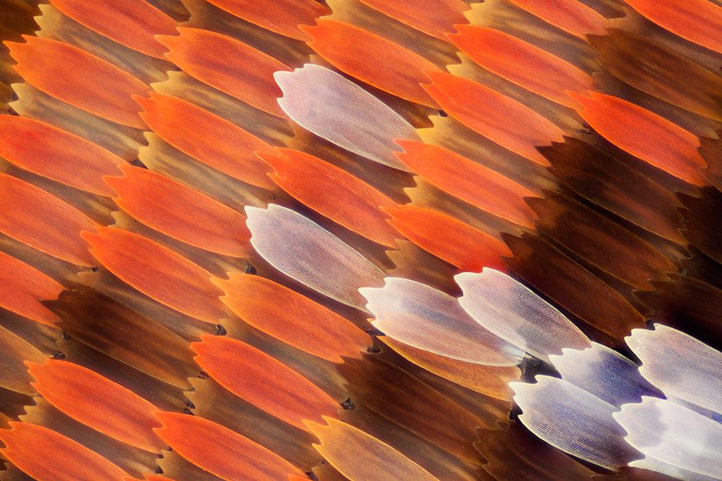 Brown wings, White wings, Wings, Butterfly wings, Moth wings, butterfly wings, microscopic images of butterfly wings