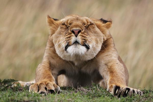 Cougar hunt