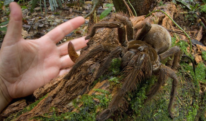 Scientist Discover A Spider The Size Of A Puppy 1
