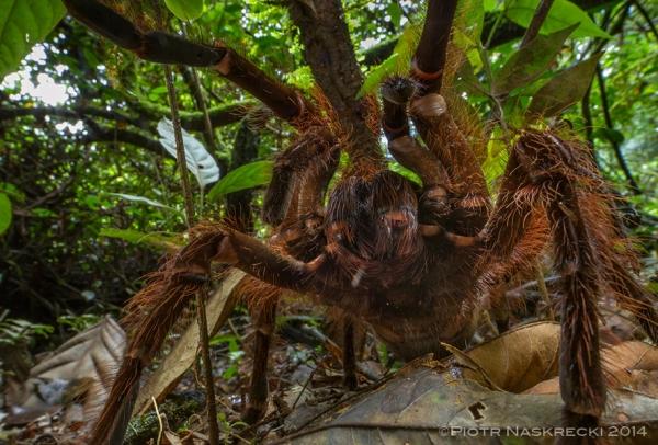 goliath bird eater spider
