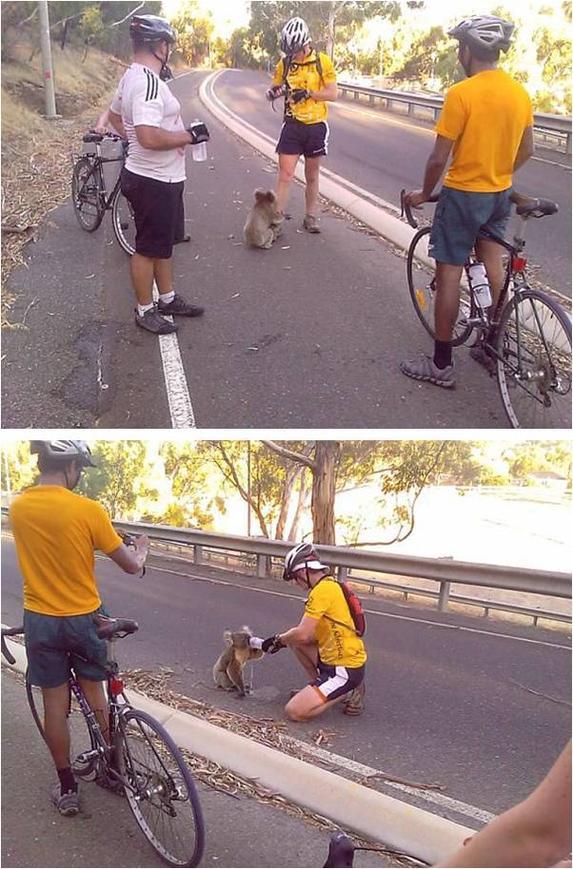 Thirsty Koala bear