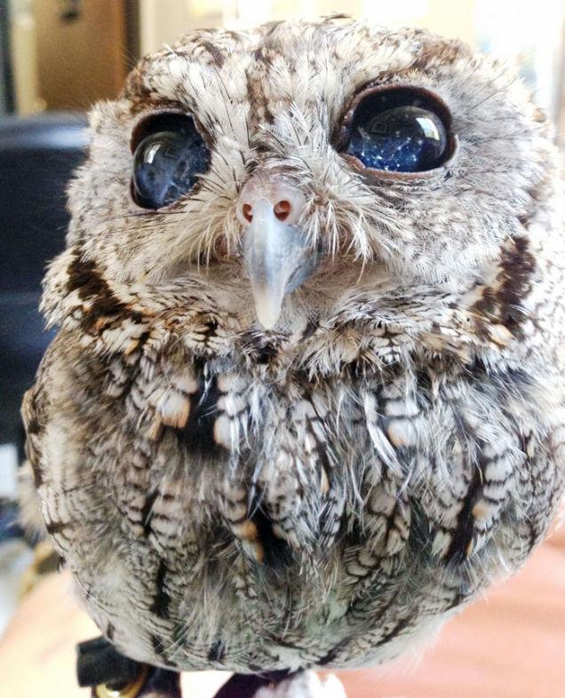 Owl With Eyes Like The Night Sky, screech owl, owl, wild animals, Owl With Eyes Like The Night Sky, Zeus owl, owl with galaxy eyes, amazing owl eyes
