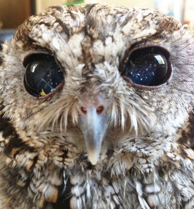 Meet Zeus: Rescued Blind Owl That Holds The Universe In His Eyes 1