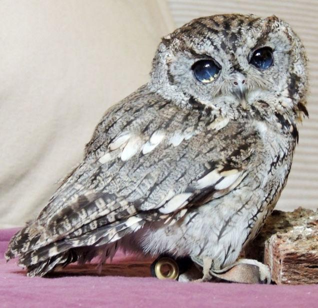 Screech Owl, Meet The Owl With Eyes Like The Night Sky, Owl With Eyes Like The Night Sky, screech owl, owl, wild animals, Owl With Eyes Like The Night Sky, Zeus owl, owl with galaxy eyes, amazing owl eyes