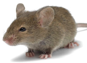 Man Sued Pepsi After Finding A Mouse In His Mountain Dew, They Argue Mice Dissolve In Mountain Dew 1