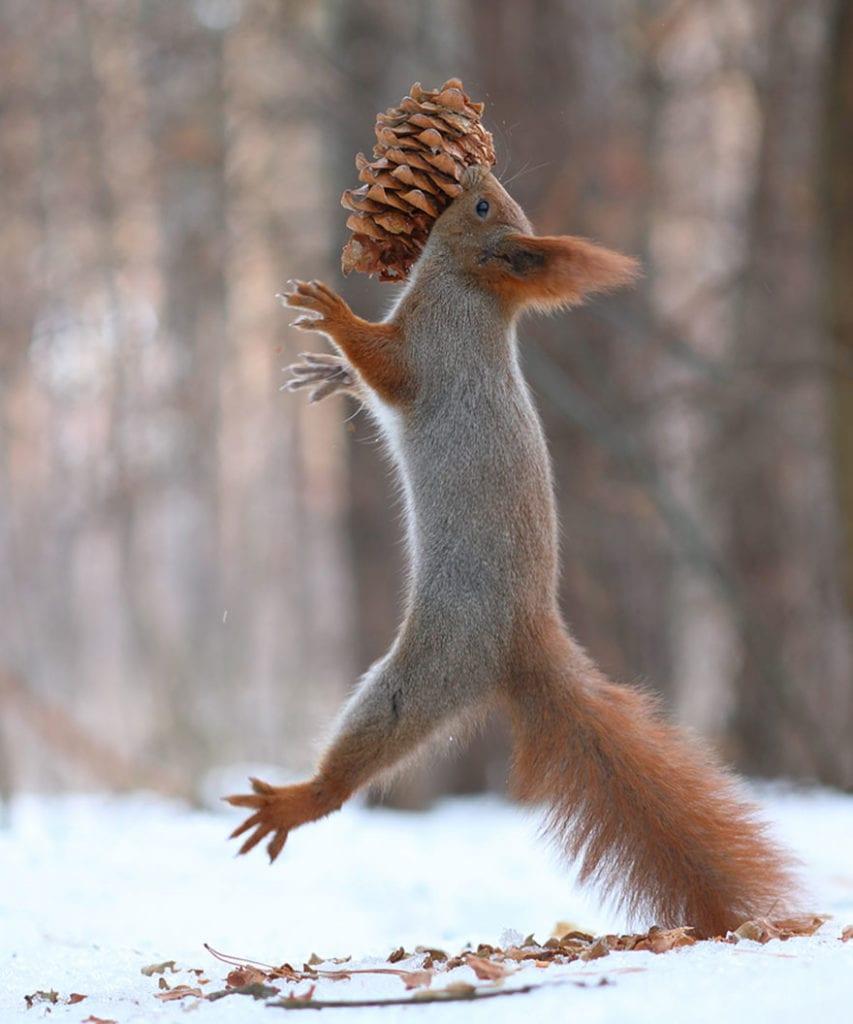 Squirrel eats pine cone, Vadim Trunov, squirrels photography, wildlife photography, cute squirrel photography, Vadim Trunov