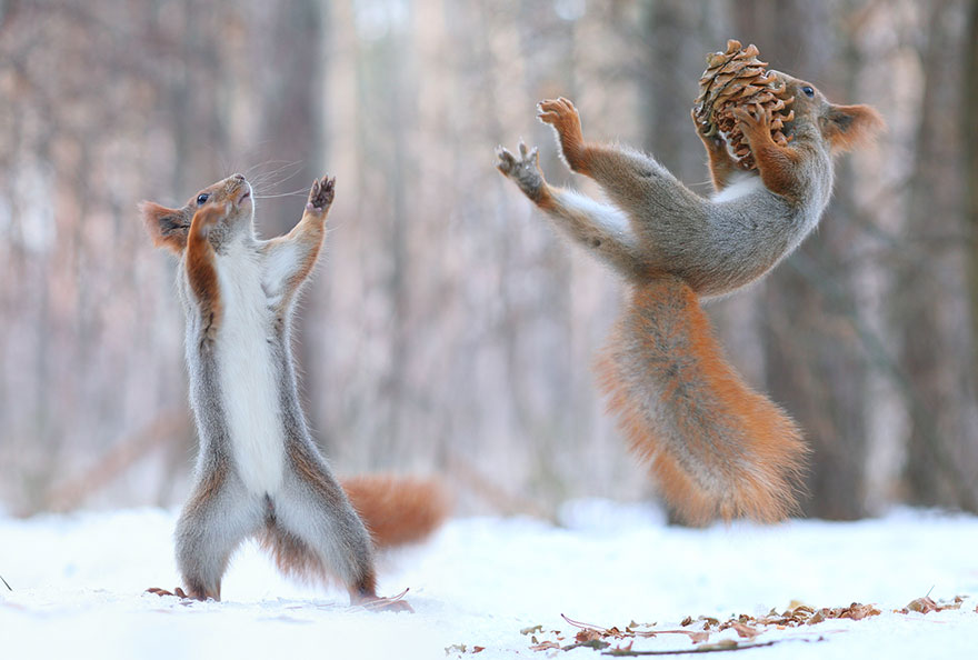 Squirrel fight, Vadim Trunov, squirrels photography, wildlife photography, cute squirrel photography, Vadim Trunov