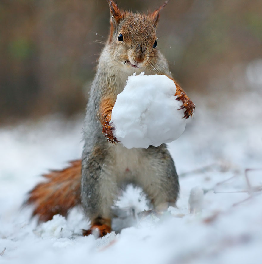 Squirrel with snowball, Vadim Trunov, squirrels photography, wildlife photography, cute squirrel photography, Vadim Trunov
