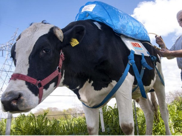 This New Gadget Capture Cow Farts and Convert Them Into Green Energy 1
