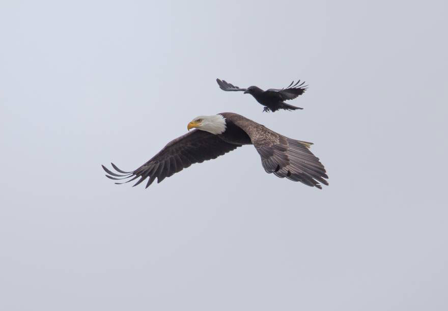 Crow Rides On The Back Of a Bald Eagle 1