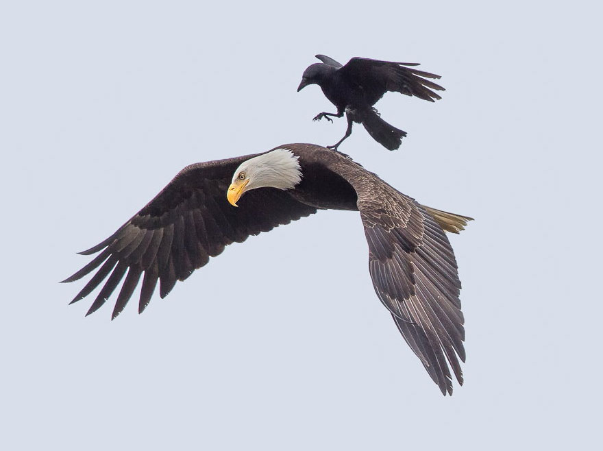 Crow hitches a ride