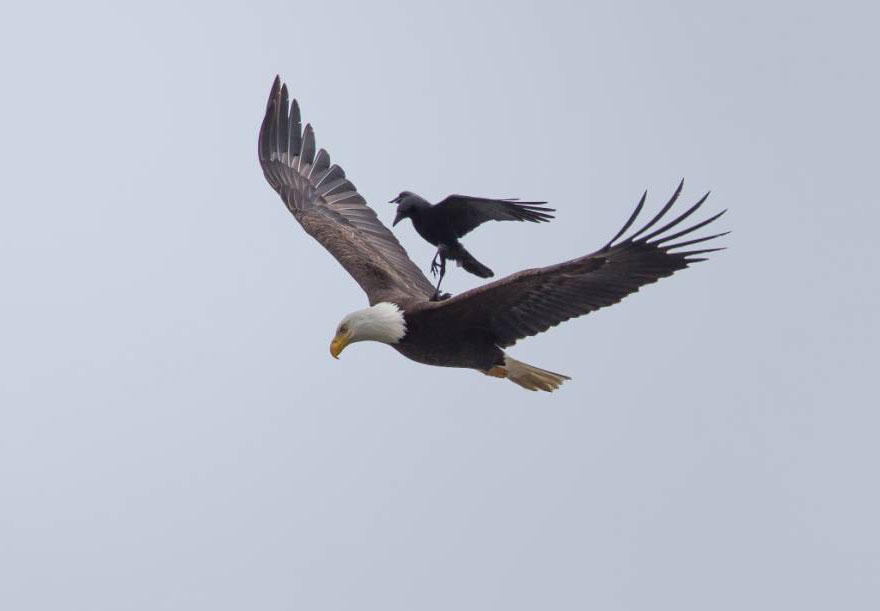 Crow on eagle