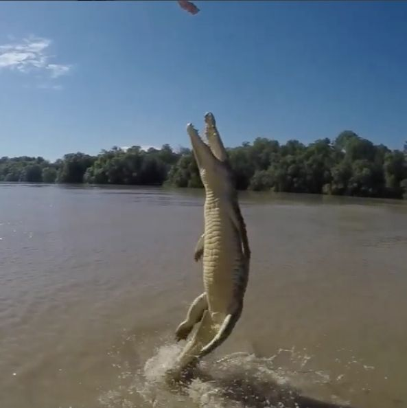 Gravity-defying Crocodile Uses Tail To Completely Launch Itself Out Of Water