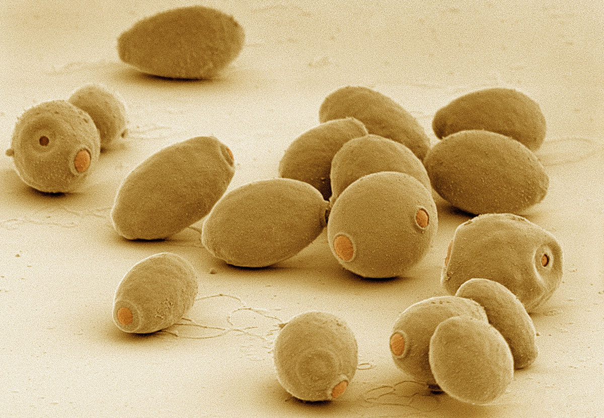 Everything Worth Knowing About ... Yeast