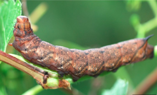 To Scare Off Predators, Caterpillar Whistles like a Kettle