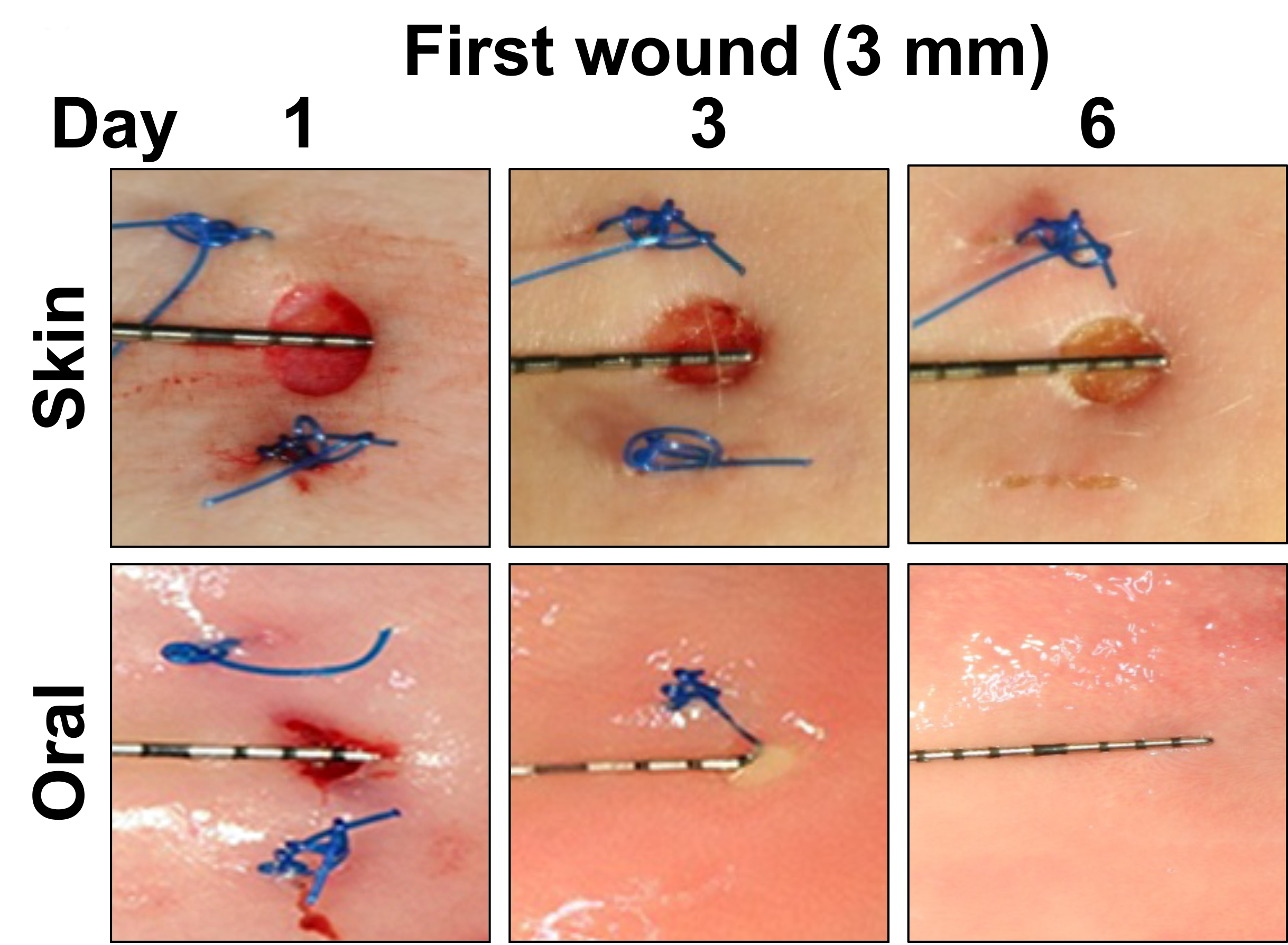 Over six days, researchers saw mouth wounds heal much faster than skin cuts. (Credit: R. Inglesias-Bartolome et al., Science Translational Medicine (2018))