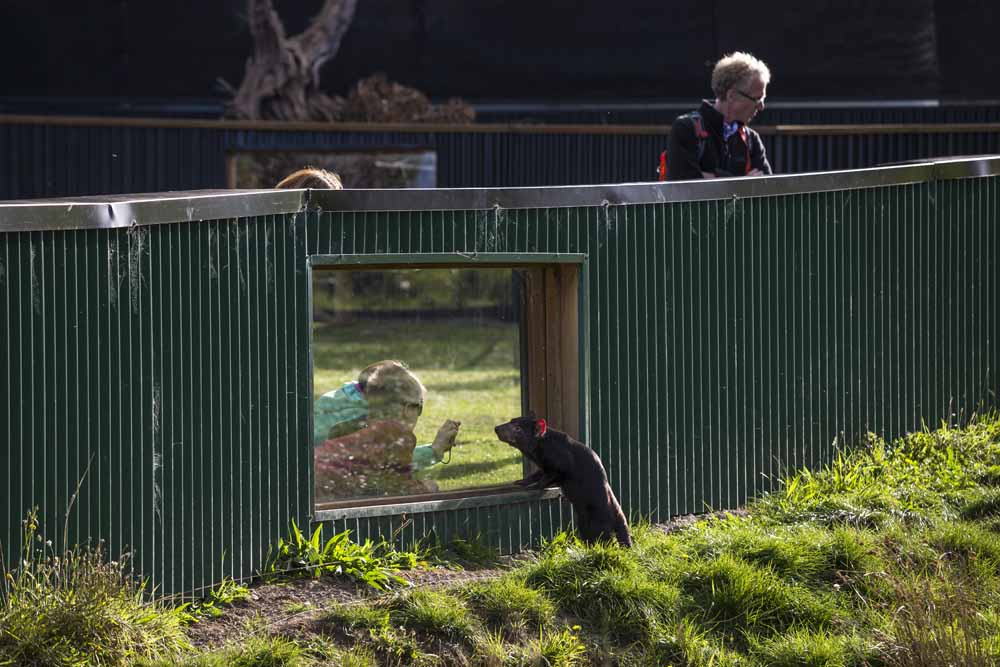 Visitors observea captiveTasmanian devilat Trowunna Wildlife Sanctuary, one of the first facilities to successfully breed devils in captivity and now a recognized authority on devil husbandry.