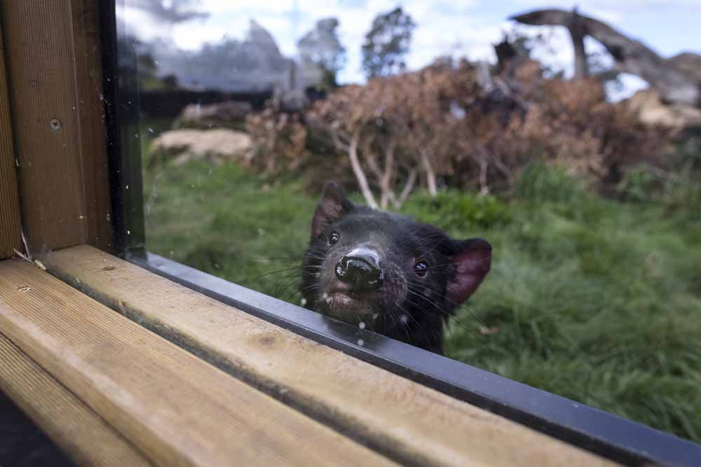 A curious Tasmanian devil peeks through a window at Trowunna Wildlife Sanctuary.In the wild, devils roam highly diverse habitats, from sandy beaches to lush rainforests and the high alpine.