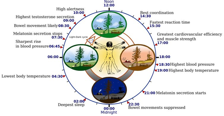 The circadian rhythm orchestrates many biological processes, including digestion, immune function and blood pressure, all of which rise and fall at specific times of day. Misregulation of the circadian rhythm can have adverse effects on metabolism, cognitive function and cardiovascular health. (Credsit: Yassine Mrabet, CC BY-SA)