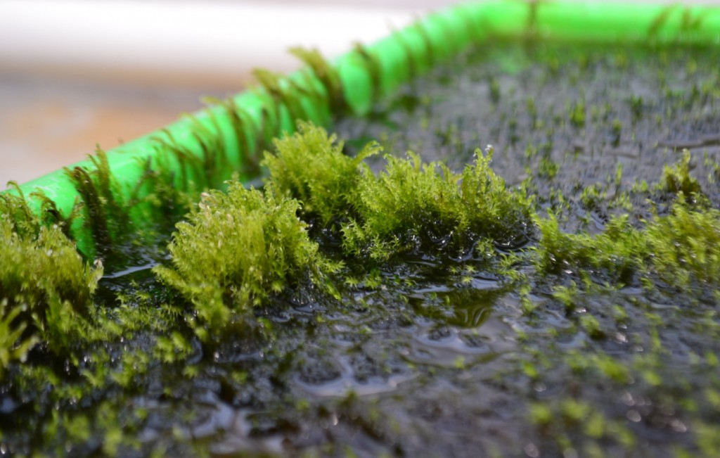 Moss filters arsenic from water