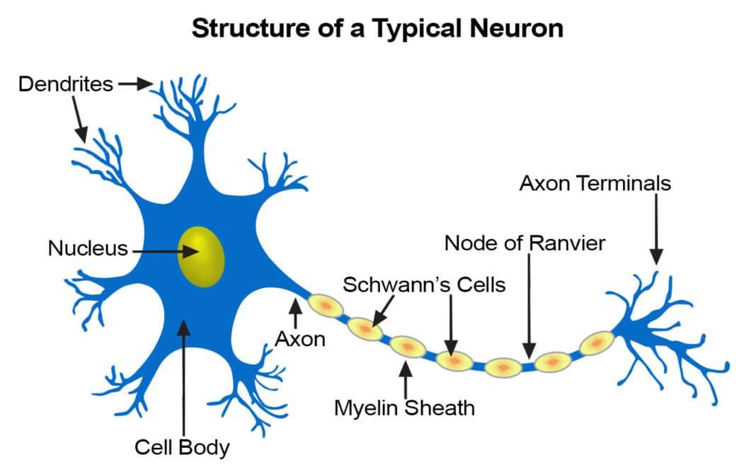 neuron structure