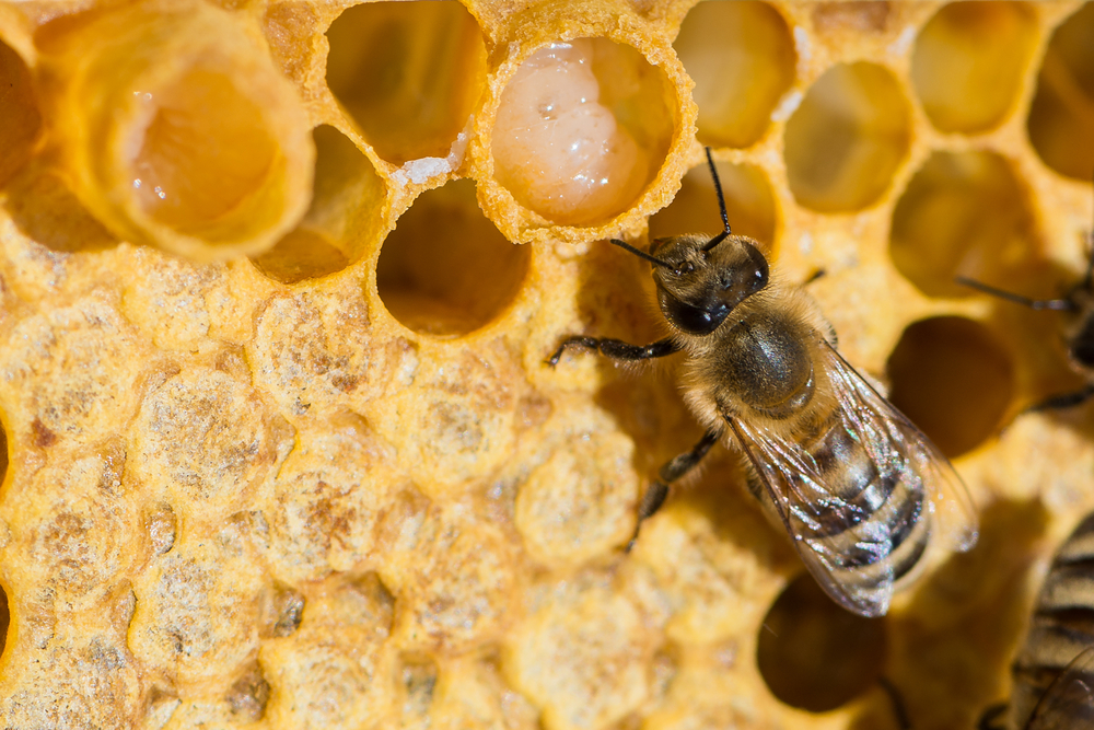 A Compound that Makes Bees Into Queens Could also Aid Human Stem Cell Therapies
