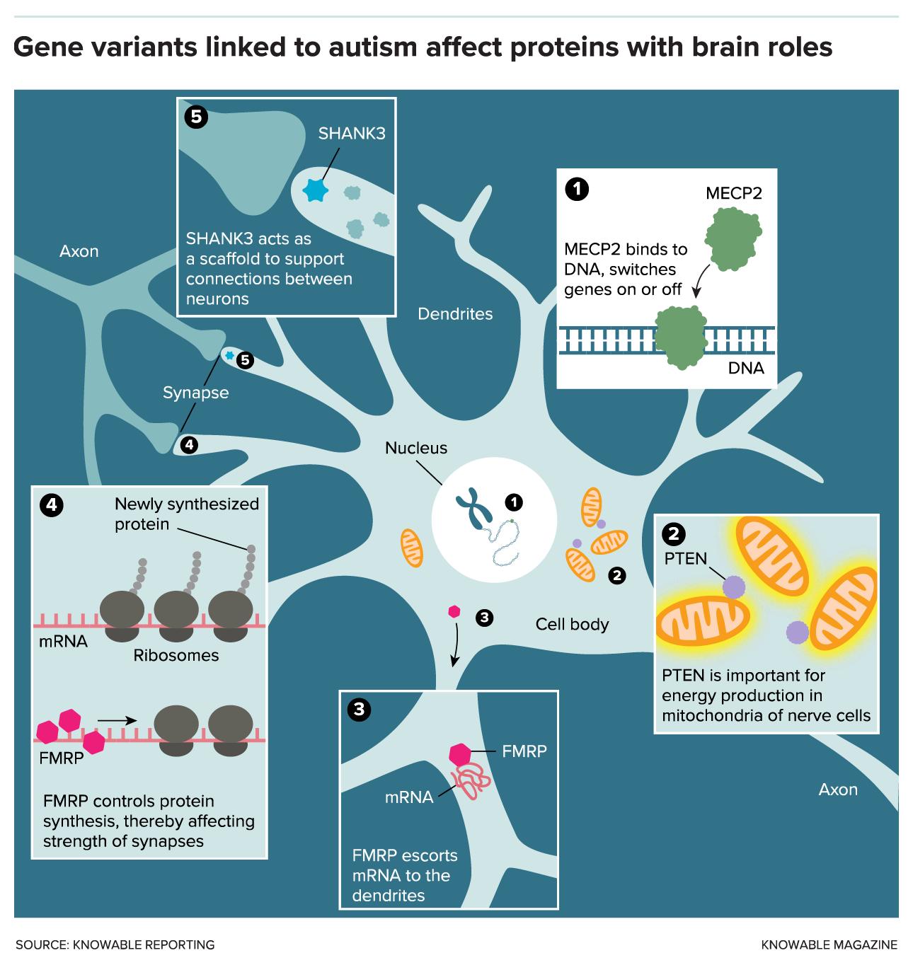 autism proteins
