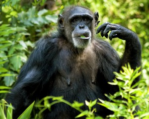 chimpanzee eating