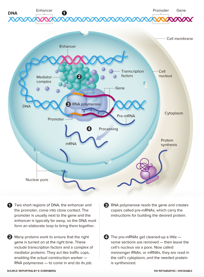 gene transcription