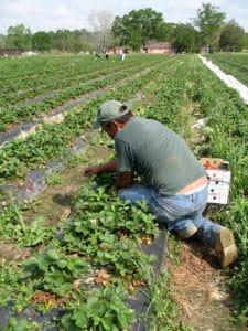 Breaking our backs – the future of farm labor